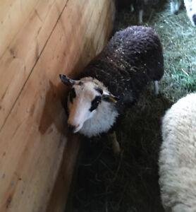 Mouton Shetland à vendre