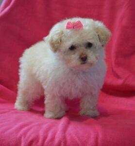 1 female hypoallergenic puppy