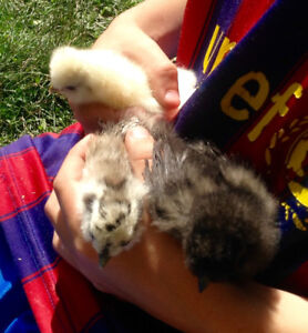 Silkie hens, roosters and chicks