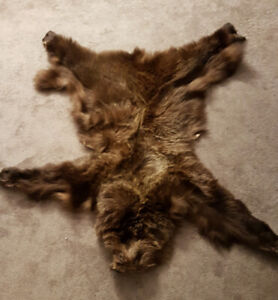 4a15b8d16d03 Grizzly Bear skin in perfect condition!