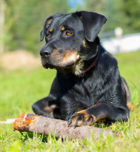 Paws for Love dog rescue has a female rotti cross up foradoption