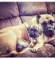 Two gorgeous Mastiffs for adoption