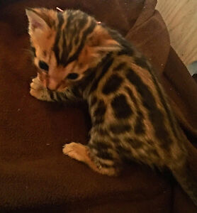 Top of the Line Registered Bengal Kittens