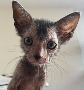 pure bred lykoi cats available