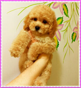 Apricot Toy Poodle Kijiji Buy Sell Save With Canadas