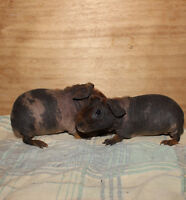 Baby Skinny Pigs