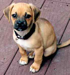 Wanted - Puggle