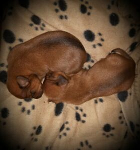 Mini-Doxies are Here! (Both now RESERVED)