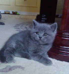 British Shorthair kittens. West Island Greater Montréal image 6