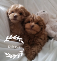 Gorgeous Red Shihpoo Puppies - All have found a home