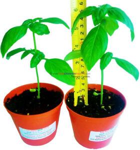 2 Tulsi Plants - Holy Basil Plants for Sale