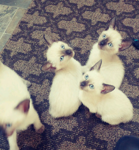 Female siamese kittens