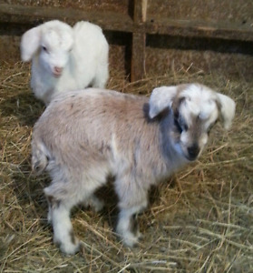 Fuzzy Goat Babies for Pets & Weed-eating!