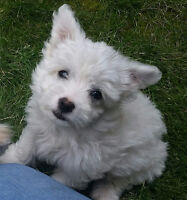 Terrier x Miniature Poodle -1 male left- Tentatively SOLD