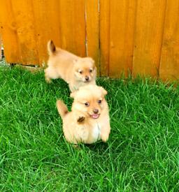 Pomeranian x chihuahua (pomchi) puppies