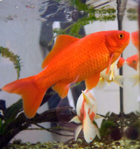 I have one gold fish about 5 inches for $5