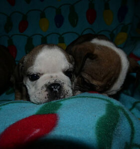 Female and Male English Bulldog babies for sale