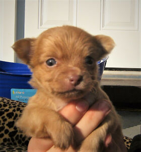 *** BEAUTIFUL CHIHUAHUA PUPPIES!! ***