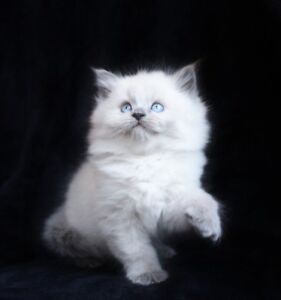 Fluffy Lilac Point Ragdoll kittens for adoption