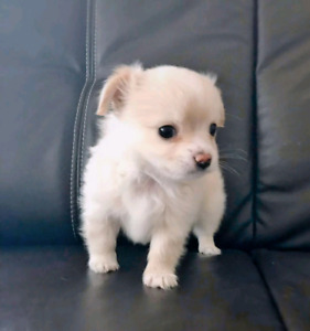 Chihuahua   Adopt Dogs & Puppies Locally in Ontario   Kijiji Classifieds