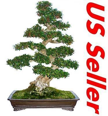 (30 PCS Chinese Elm Bonsai Tree Seed Pack Ulmus Parvifolia T24, US Seller)