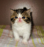 Gorgeous Purebred Exotic SH Brown Tabby&White Male Kitten 4 SALE