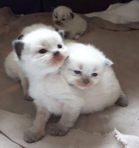 Adorable ragdoll kittens ready end of April - beginning of May!