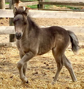 Registered  black Miniature Horse filly available to good home