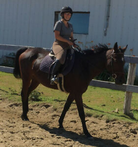 12 yr old 15.1h Mare