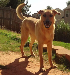 Sam is a friendly 1 year old, male, Labrador /Shepherd mix