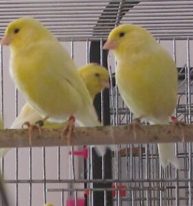 yellow baby canary's for sale---DEAL