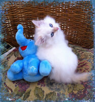 Hypoallergenic Siberian Red (Flame) Lynx Point Kittens