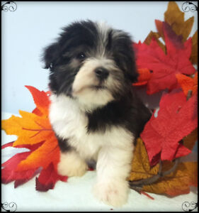 TEACUP HAVANESE GIRL
