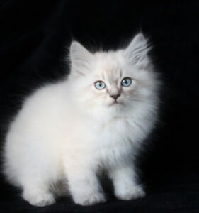 Adorable Ragdoll Kittens are available for Rehoming