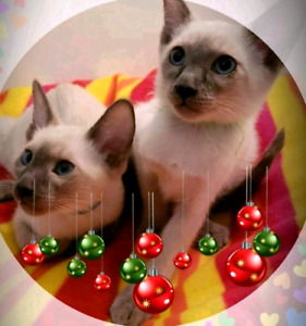 ❤MAGNIFIQUES CHATONS SIAMOIS❤BEAUTIFUL PURE SIAMESE KITTENS❤