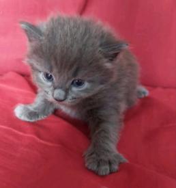 Blue Kittens In London Cats Kittens For Sale Gumtree