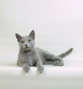 Purebred Russian Blue male kitten