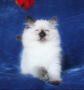 Beautiful Persian  Himalayan kittens  for adoption