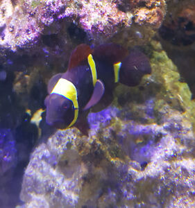 Gold banded maroon clowns with rose anemone on rock