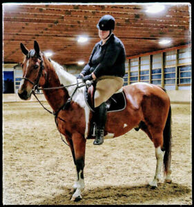 16.3HH Canadian Warmblood Gelding for Sale