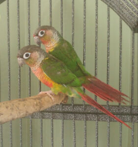 2 Yellowsided Conures