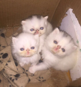 Pure Breed Persian kittens for sale! Ready to go!