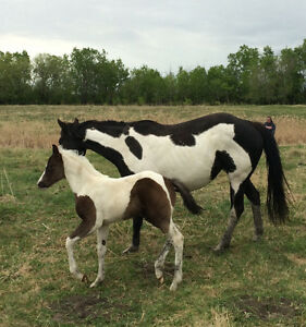 APHA Black & White Filly