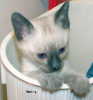 Sealpoint Siamese Kitten