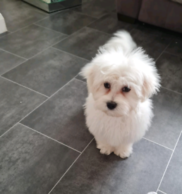 Adorable 4mth old male Maltese puppy