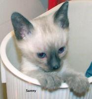 Sealpoint Siamese Female kitten