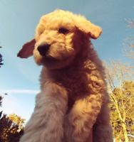 Golden Doubledoodle puppies! ( Goldendoodle x Labradoodle )