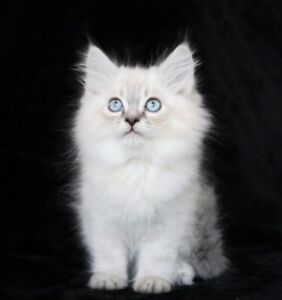 Lovely Ragdoll Kittens are Available for Good Homes