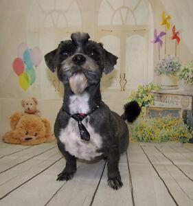 Shelly's Little Dog Grooming Regina Regina Area image 8