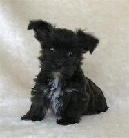 Westie/Yorkie Cross Pups